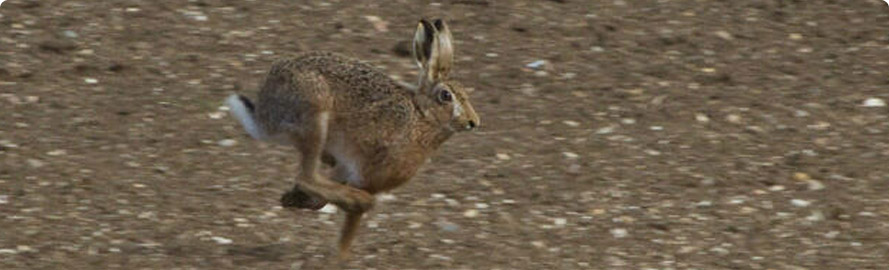 Hare in Wiltshire